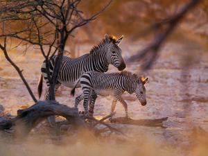 Mountain Zebra (Equus Zebra) Mother and Foal, Etosha National Park, Namibia by Konrad Wothe