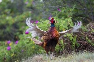 Pheasant male calling, East Frisian Islands, Wittbulten National Park, Germany by Konrad Wothe