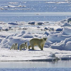 Polar Bear (Ursus Maritimus) Mother with Cubs on Ice Floe, Svalbard, Norway by Konrad Wothe