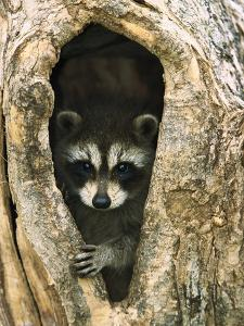 Raccoon (Procyon Lotor) Baby Peering Out from Hole in Tree, North America by Konrad Wothe