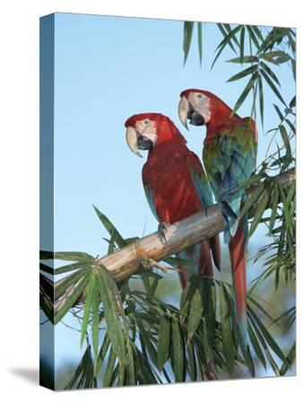 Red and Green Macaw (Ara Chloroptera) Pair, Pantanal, Brazil