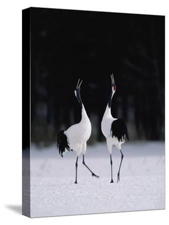 Red-Crowned Crane (Grus Japonensis) Couple in Courtship Display, Hokkaido, Japan