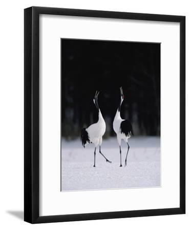 Red-Crowned Crane (Grus Japonensis) Couple in Courtship Display, Hokkaido, Japan