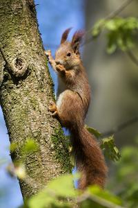 Red squirrel (Sciurus vulgaris) feeding in a tree, Bavaria, Germany, Europe by Konrad Wothe