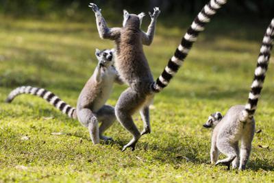 Ringtailed Lemurs Playing (Lemur Catta) Nahampoana Reserve, South Madagascar, Africa