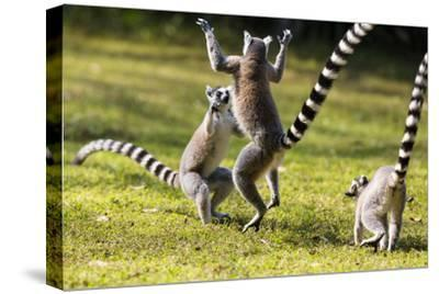 Ringtailed Lemurs Playing (Lemur Catta) Nahampoana Reserve, South Madagascar, Africa