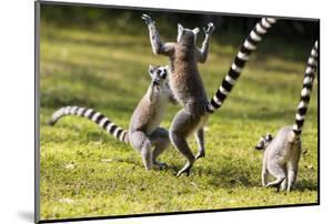 Ringtailed Lemurs Playing (Lemur Catta) Nahampoana Reserve, South Madagascar, Africa by Konrad Wothe