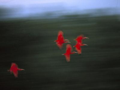 Scarlet Ibis (Eudocimus Ruber) Flock Flying, Trinidad, West Indies, Caribbean by Konrad Wothe