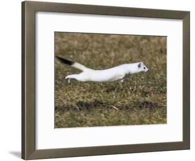 Short-Tailed Weasel (Mustela Erminea) Running, Bavaria, Germany
