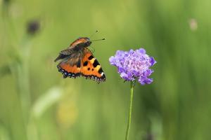 Small tortoiseshell butterfly in flight, Bavaria, Germany by Konrad Wothe