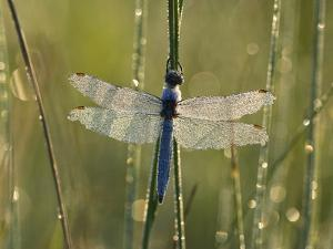 Southern Skimmer (Orthetrum Brunneum) Dragonfly Male Covered with Dew, Germany by Konrad Wothe