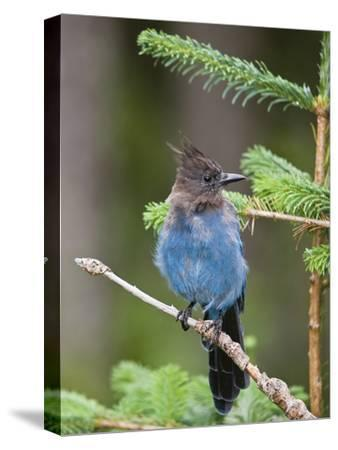 Steller's Jay (Cyanocitta Stelleri) in Pine, Mount Rainier National Park, Washington