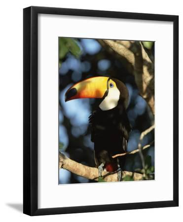 Toco Toucan (Ramphastos Toco) Perching on a Branch, Pantanal, Brazil