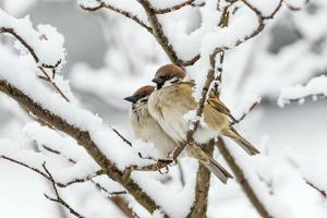 Tree sparrows (Passer montanus) in snow, Bavaria, Germany, March by Konrad Wothe