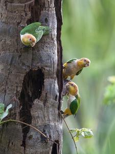 White-bellied parrots in rainforest, Tambopata National Reserve, Peru by Konrad Wothe