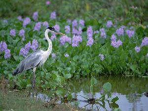 White-Necked Heron (Ardea Cocoi) Pantanal, Brazil by Konrad Wothe