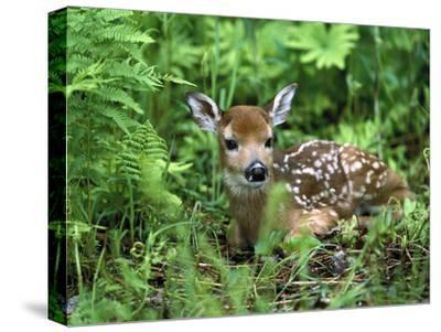 White-Tailed Deer (Odocoileus Virginianus) Fawn Amid Ferns, North America