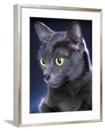 Korat Cat--Framed Photographic Print