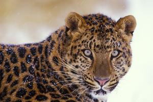 Korean Leopard Endangered Species