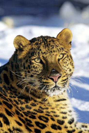 Korean Leopard--Photographic Print