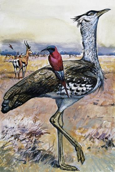 Kori Bustard (Ardeotis Kori), Otididae--Giclee Print