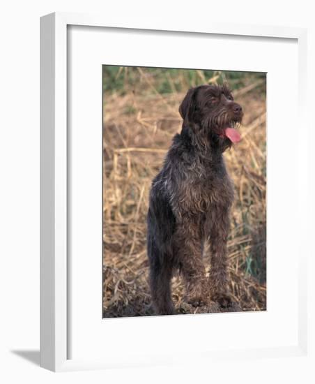 Korthal's Griffon / Wirehaired Pointing Griffon Portrait-Adriano Bacchella-Framed Photographic Print