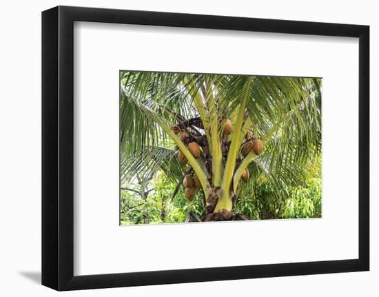 Kosrae, Micronesia. Ripe coconuts growing on a coconut tree.-Yvette Cardozo-Framed Photographic Print