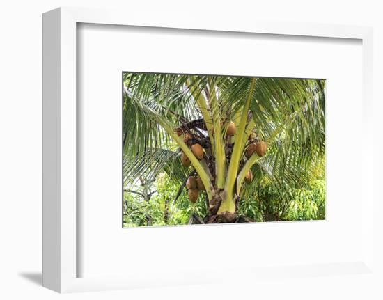 Kosrae, Micronesia. Ripe coconuts growing on a coconut tree.-Yvette Cardozo-Framed Photographic Print