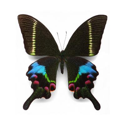 Krishna Swallowtail-Christopher Marley-Photographic Print