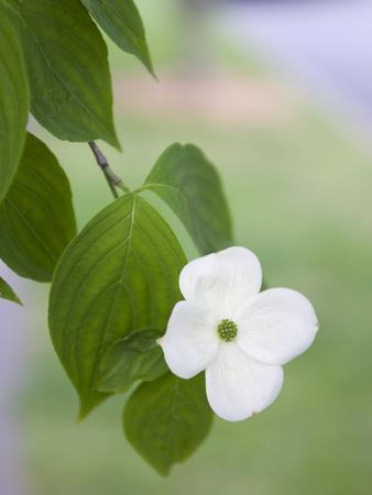 A Single White Dogwood Flower in the Virginia Highlands Neighborhood