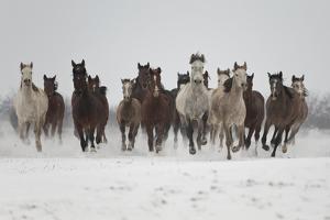 A Group Of Pure Arab, Shagya Arab And East Bulgarian Fillies Running In Snow, Kabiuk National Stud by Kristel Richard