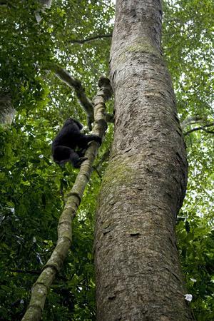 Africa, Uganda, Kibale National Park. A juvenile chimpanzee climbs a vine.