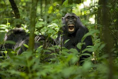 Africa, Uganda, Kibale National Park. A juvenile chimpanzee grooming.