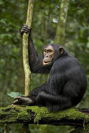 Africa, Uganda, Kibale National Park. A young adult chimpanzee anticipates arrival of other chimps.