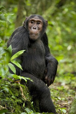 Africa, Uganda, Kibale National Park. A young adult chimpanzee listens.