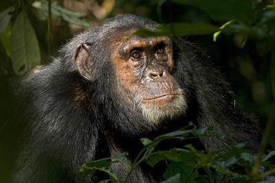 Africa, Uganda, Kibale National Park. An adult male chimpanzee looks upward.