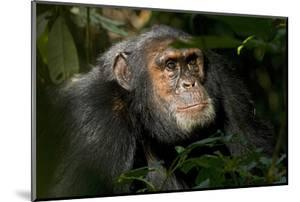 Africa, Uganda, Kibale National Park. An adult male chimpanzee looks upward. by Kristin Mosher