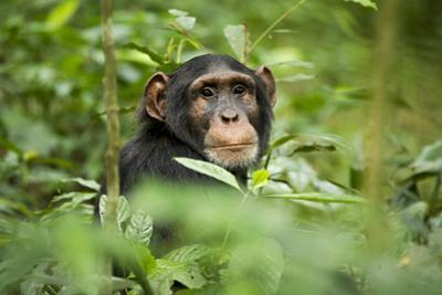 Africa, Uganda, Kibale National Park. Curious, young adult chimpanzee, 'Wes'.