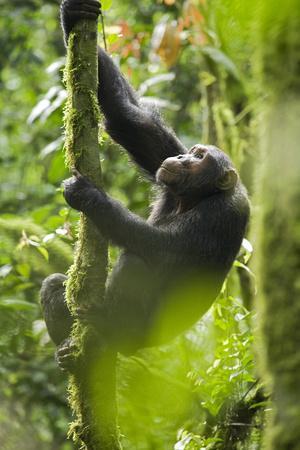 Africa, Uganda, Kibale National Park. Wild chimpanzee climbs a tree.