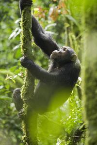 Africa, Uganda, Kibale National Park. Wild chimpanzee climbs a tree. by Kristin Mosher