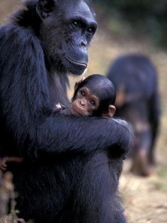 Female Chimpanzee Cradles Newborn Chimp, Gombe National Park, Tanzania