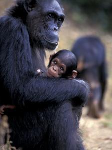 Female Chimpanzee Cradles Newborn Chimp, Gombe National Park, Tanzania by Kristin Mosher