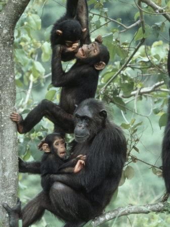 Jane Goodall Institute, Chimpanzees, Gombe National Park, Tanzania