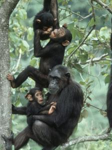 Jane Goodall Institute, Chimpanzees, Gombe National Park, Tanzania by Kristin Mosher