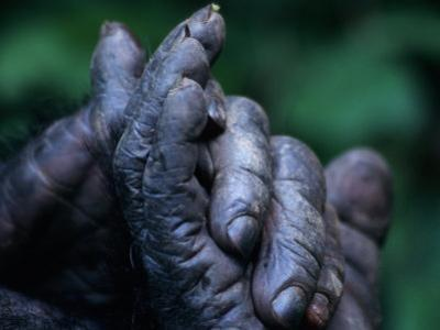 Male Chimpanzee Clasps His Foot, Gombe National Park, Tanzania