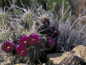 Strawberry Hedgehog, Saguaro National Park, Arizona, USA by Kristin Mosher