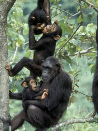 Young Male Chimpanzees Play, Gombe National Park, Tanzania
