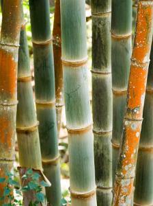 Bamboo, Doi Suthep, Thailand by Kristin Piljay