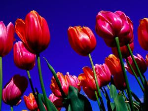 Detail of Tulips at Tesselaar Tulip Farm in Silvan, Melbourne, Australia by Krzysztof Dydynski