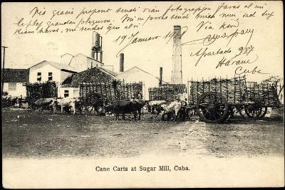 Kuba, Cane Carts at Sugar Hill, Rinder Herde Als Lasttiere--Giclee Print